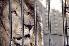 Stock Photo of Lion in a cage behind bars