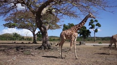 group of Rothschild's giraffes - stock footage