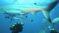 Oceanic blacktip sharks, tuna, grouper and other fish on baited scuba dive Stock Footage