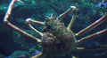 Close Up Of Japanese Spider Crab 03 Footage