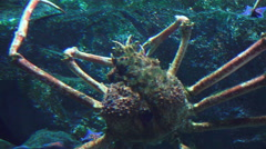 Close Up Of Japanese Spider Crab 03 Stock Footage