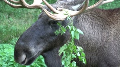 Elk - Moose close up with weed on horns Stock Footage