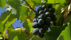 Grapes outdoor sunny day 4K 2160p UHD footage - Grapevine autumn outdoor 4K  Stock Footage