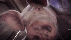 Funny pigs sleeping - stock footage
