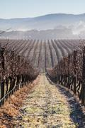 Fog In The Vines in the Yarra Valley - stock photo
