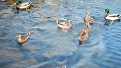 Ducks on river being fed from above Stock Footage