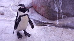 Penguin cleaning Stock Footage