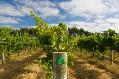 Margaret River Chardonnay Vines - stock photo