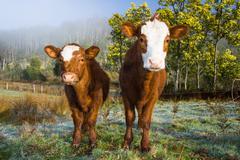 Inquisitive Cows - stock photo