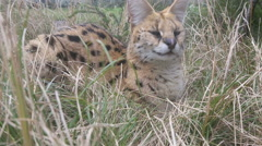 Serval cat resting in grass Stock Footage