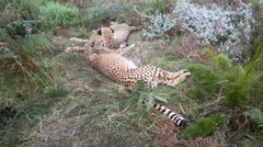 Two young cheetahs resting in grass - stock footage