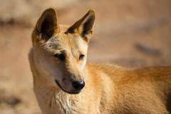 Wild Dingo - stock photo