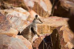Australian Rock Wallaby Stock Photos