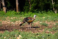 Vibrant Texas Turkey standing Front Right Stock Photos