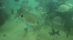 Scuba divers feeding school of reef fish Stock Footage