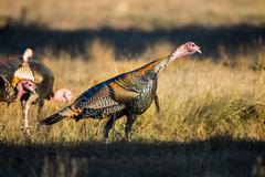 Texas Turkey Standing - stock photo
