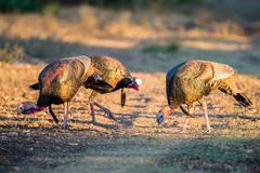 Three Turkeys Stock Photos