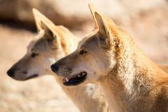 Wild Dingoes - stock photo