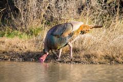 Texas Turkey Drinking Stock Photos
