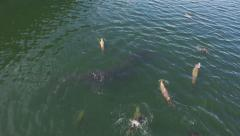 Schools of Eulachon being Chased by Sea Lions Aerial Stock Footage