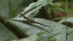 Anolis jumps from leaf in the rainforest Stock Footage