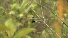 Blue-bellied Hummingbird flies away Stock Footage