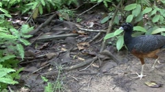 Blue-billed Curassow walk on rainforest floor 1 Stock Footage