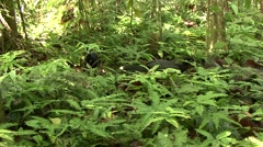 Blue-billed Curassow walk on rainforest floor 11 Stock Footage