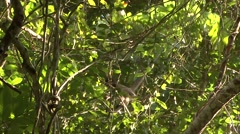 Brown Spider Monkey climb tree Stock Footage