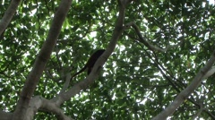 Colombian Red Howler Monkey climb tree 1 Stock Footage