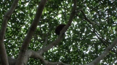 Colombian Red Howler Monkey climb tree 2 Stock Footage