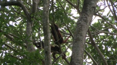 Colombian Red Howler Monkey family climb tree 1 Stock Footage