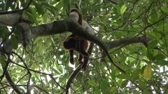 Colombian Red Howler Monkey hang in tail 2 Stock Footage