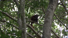 Colombian Red Howler Monkey sit in tree 1 Stock Footage