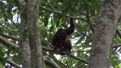 Colombian Red Howler Monkey sit in tree 2 Stock Footage
