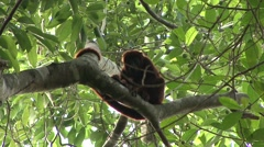 Colombian Red Howler Monkey sit in tree 3 Stock Footage