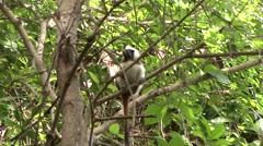 Cotton-top Tamarin in tree 1 Stock Footage