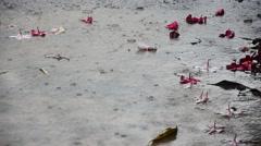 Motion of raining with Frangipani and Plumeria flower - stock footage
