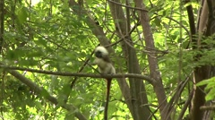 Cotton-top Tamarin in tree 3 Stock Footage