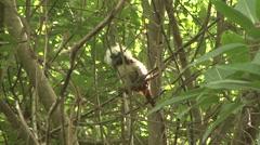 Cotton-top Tamarin in tree 5 - stock footage