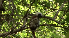 Cotton-top Tamarin in tree 2 Stock Footage