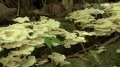 Flies swarming mushroom on rainforest floor 2 Stock Footage