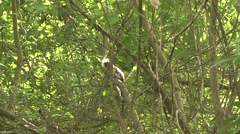 Cotton-top Tamarin in tree 6 Stock Footage