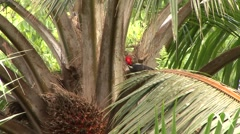 Lineated Woodpecker feeding on palm fruit 1 Stock Footage