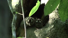 Grey-handed Night Monkey family looking out from treehole during day 3 Stock Footage
