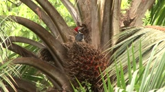 Lineated Woodpecker feeding on palm fruit 2 Stock Footage