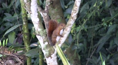 Red-tailed squirrel climb tree in the mountain rainforest 1 Stock Footage