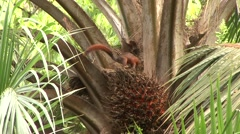 Red-tailed squirrel feed on palm fruit 3 Stock Footage