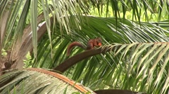 Red-tailed squirrel feed on palm fruit 5 Stock Footage