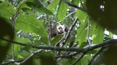 White-fronted Capuchin warning call 2 Stock Footage
